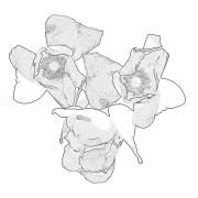 Białe kwiaty w grafice