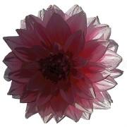 Dalia – kwiat w grafice