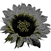 Czarny słonecznik