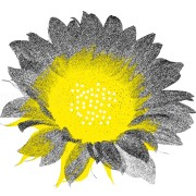 Słonecznik żółty